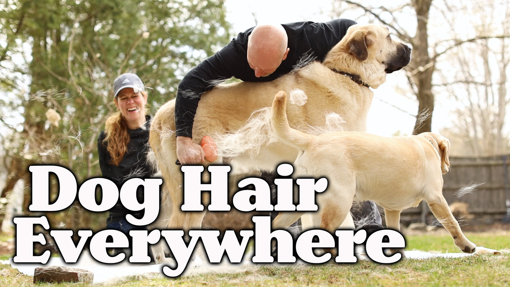 Dog Hair Everywhere, Video on Grooming Dogs, Best Deshedding Tools to Use Brush Dogs, Yellow lab, Anatolian Shepherd Video, Funny Dog Video, Dog Photogrpaher Blog, Dog Blog by Photographer Ron Schmidt