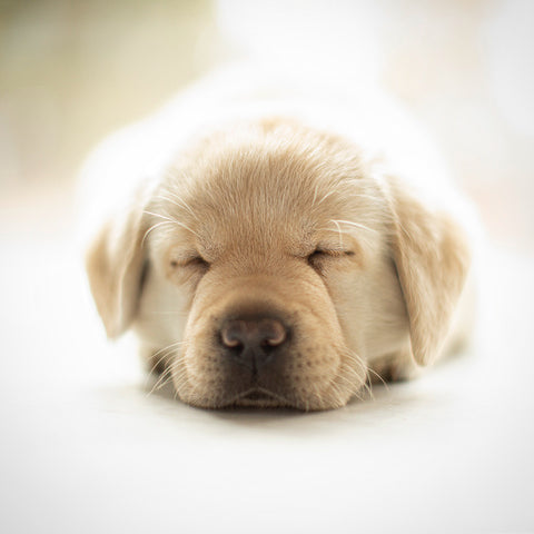 small 6 week old yellow labrador puppy sleeping on table by photographer Ron Schmidt ron@looseleashes.com
