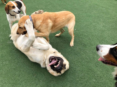 Happy dog, Anatolian Shepherd, Dog Photographer, Doggy Daycare, Dogs, Fun Dog Photo