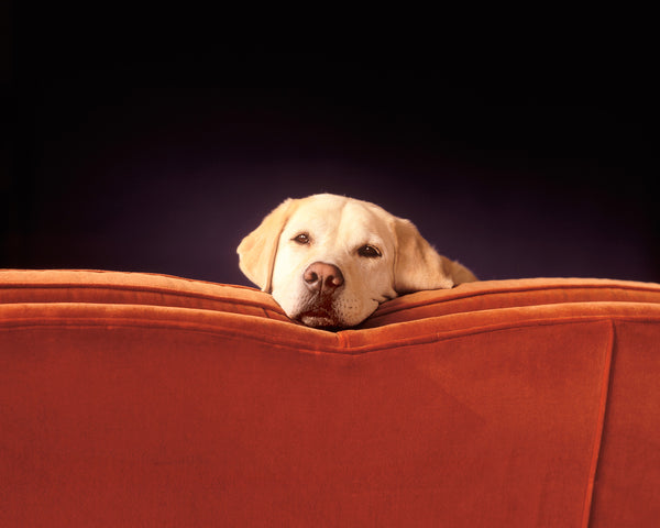 Yellow lab on Red Couch