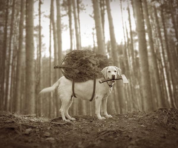 Lab Dog With Christmas Tree and Ax - Black and White by Ron Schmidt