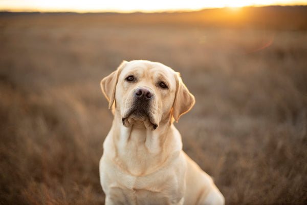 English Yellow Lab At Sunset in feild by Ron Schmidt ron@ronschmidtphoto.com