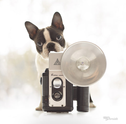Black and White Boston Terrier Puppy with Vintage Argus Camera Photograph by Dog photographer Ron Schmidt ron@looseleashes.com