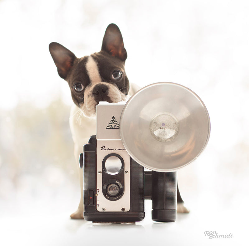 """IRIS"" Boston Terrier Art"
