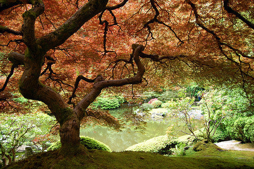 Maple trees in a formal Japanese garden.