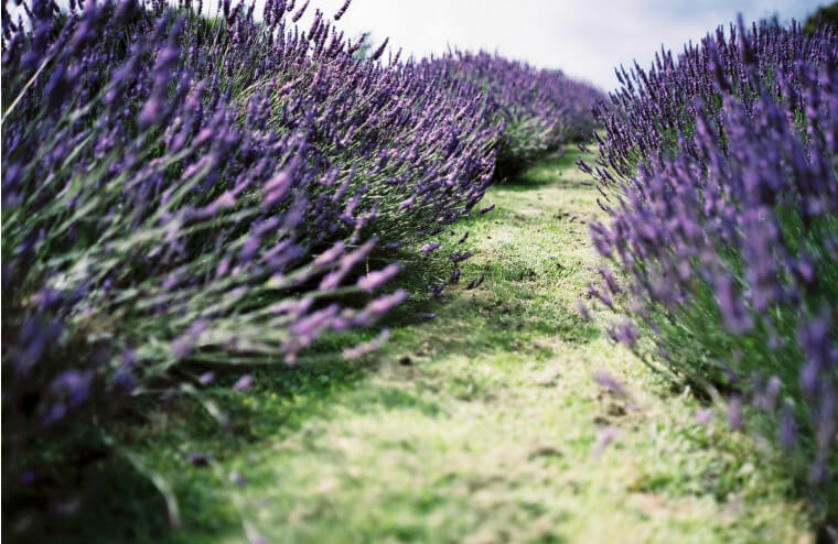Farmers Welsh Lavender