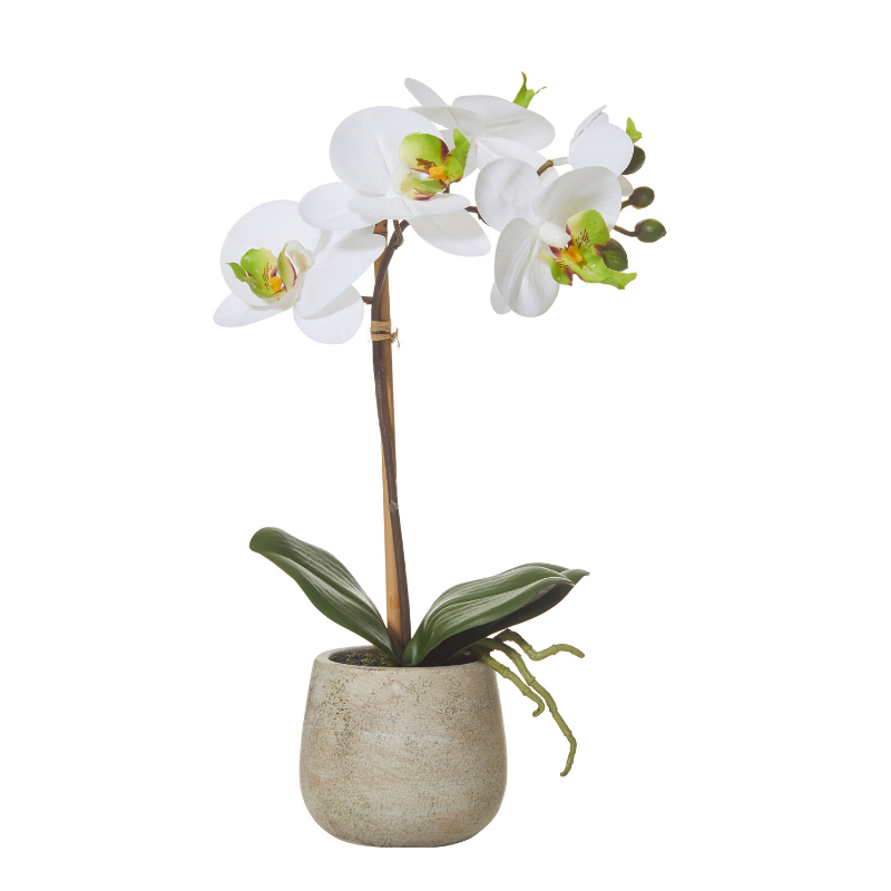 Butterfly Orchid brown pot