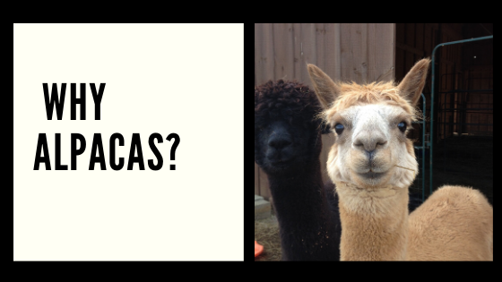 How I Got Into Alpacas