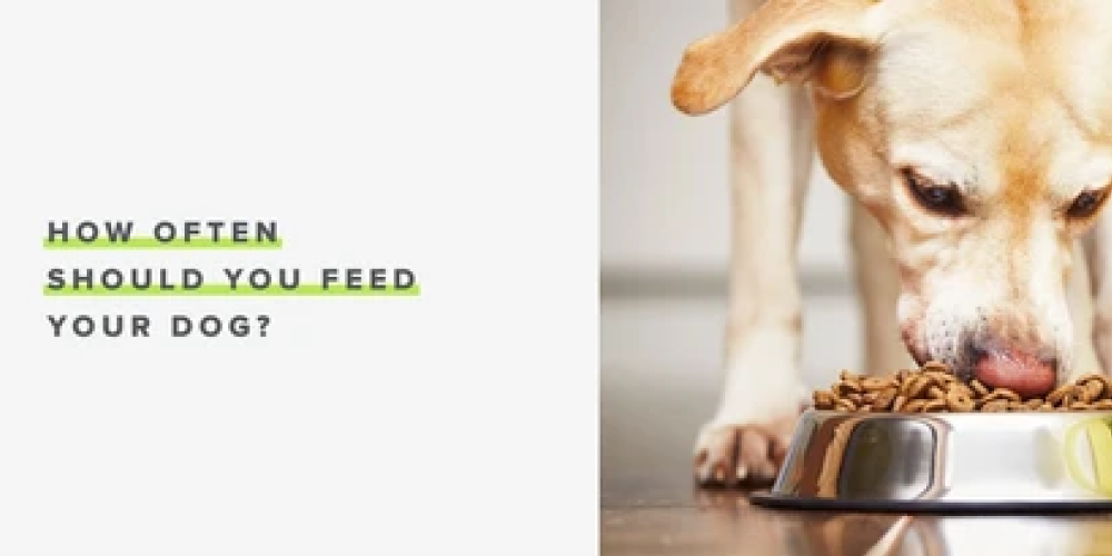 How Often Should You Feed Your Dog? | Whistle