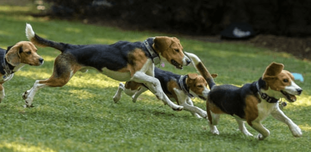Whistle Proudly Partners with Beagle Freedom Project | Whistle