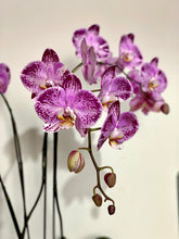 Load image into Gallery viewer, Potted Phalaenopsis Orchid