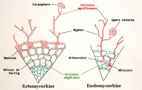 12-Difference-between-ecto-and-endo-mycorrhizae