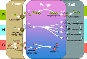 5-Mycorrhizal-associations-between-plant-fungus-and-soil