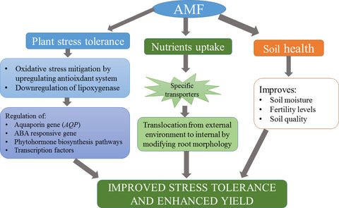 6-The-roles-of-AMF