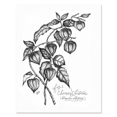 Chinese Lantern Botanical - Print & Canvas
