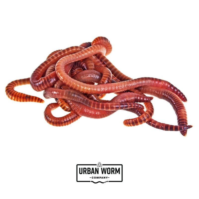 Red Wiggler Composting Worms Worms Urban Worm Company