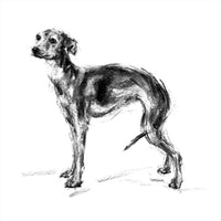 """The Charmer""  Italian Greyhound Sketch Print"