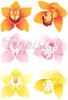 Cymbidium Orchid set- vector