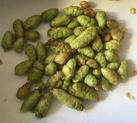 Brewing with fresh hops all year long