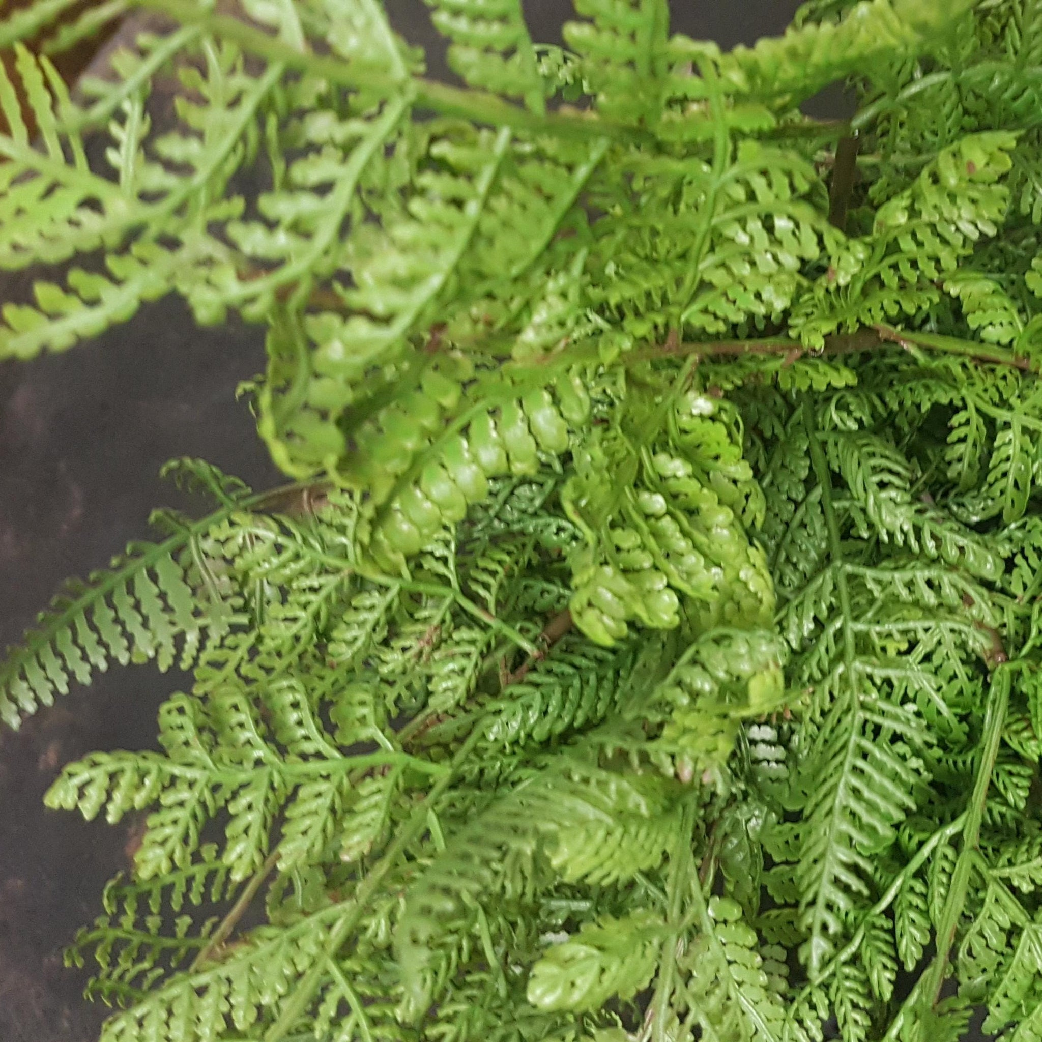 Native green Fern Bush small
