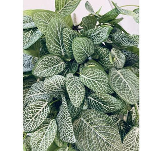Fittonia Hanging Bush 83cm