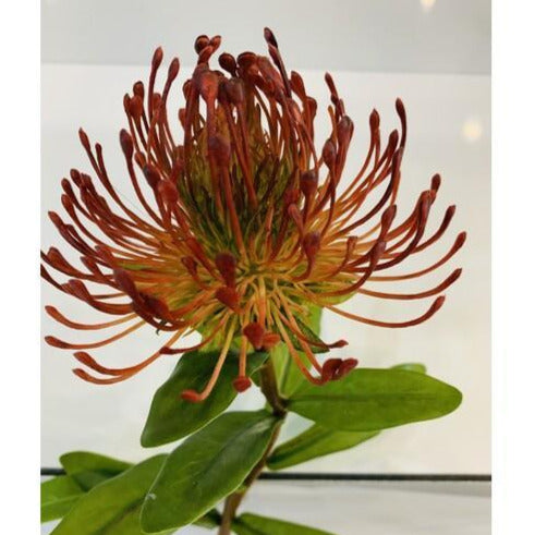 Pin Cushion protea - Red  72cm