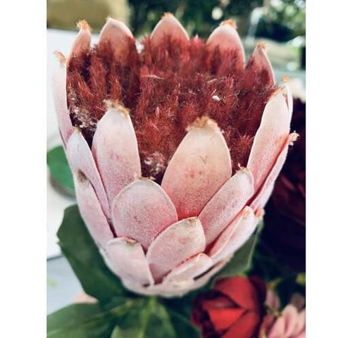 Protea Native - Pink