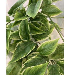 Hosta Hanging Bush 96cm