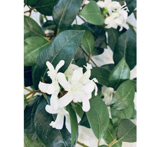 Star Jasmine Hanging Bush