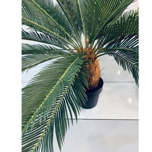 Cycad Large potted 90cm