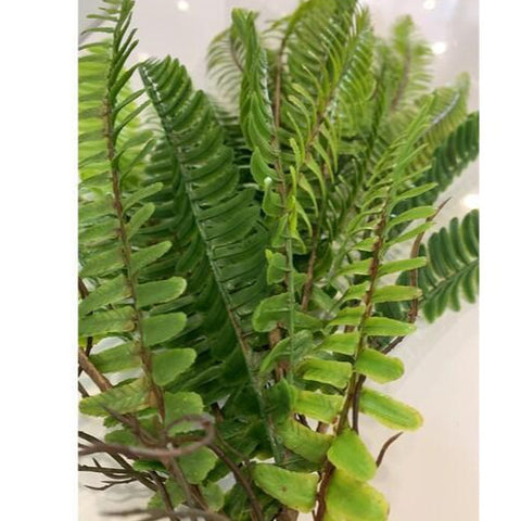 Ladder Fern hanging