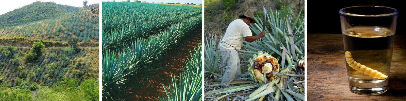Agave Producers