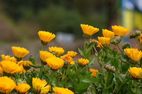 Calendula flowers growing outside. Calendula flower extract works great with CBD in salves and more.