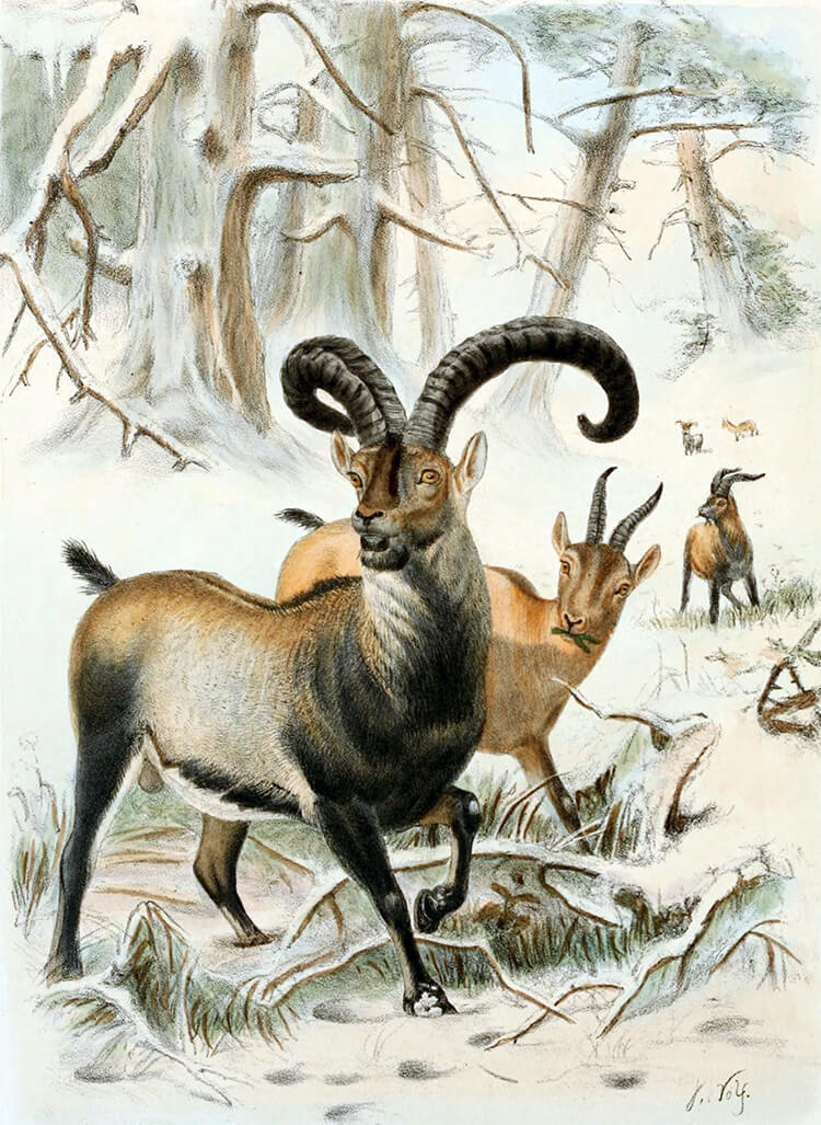 Illustration of a male Pyrenean Ibex in the wild, with two females behind it in a wooded area