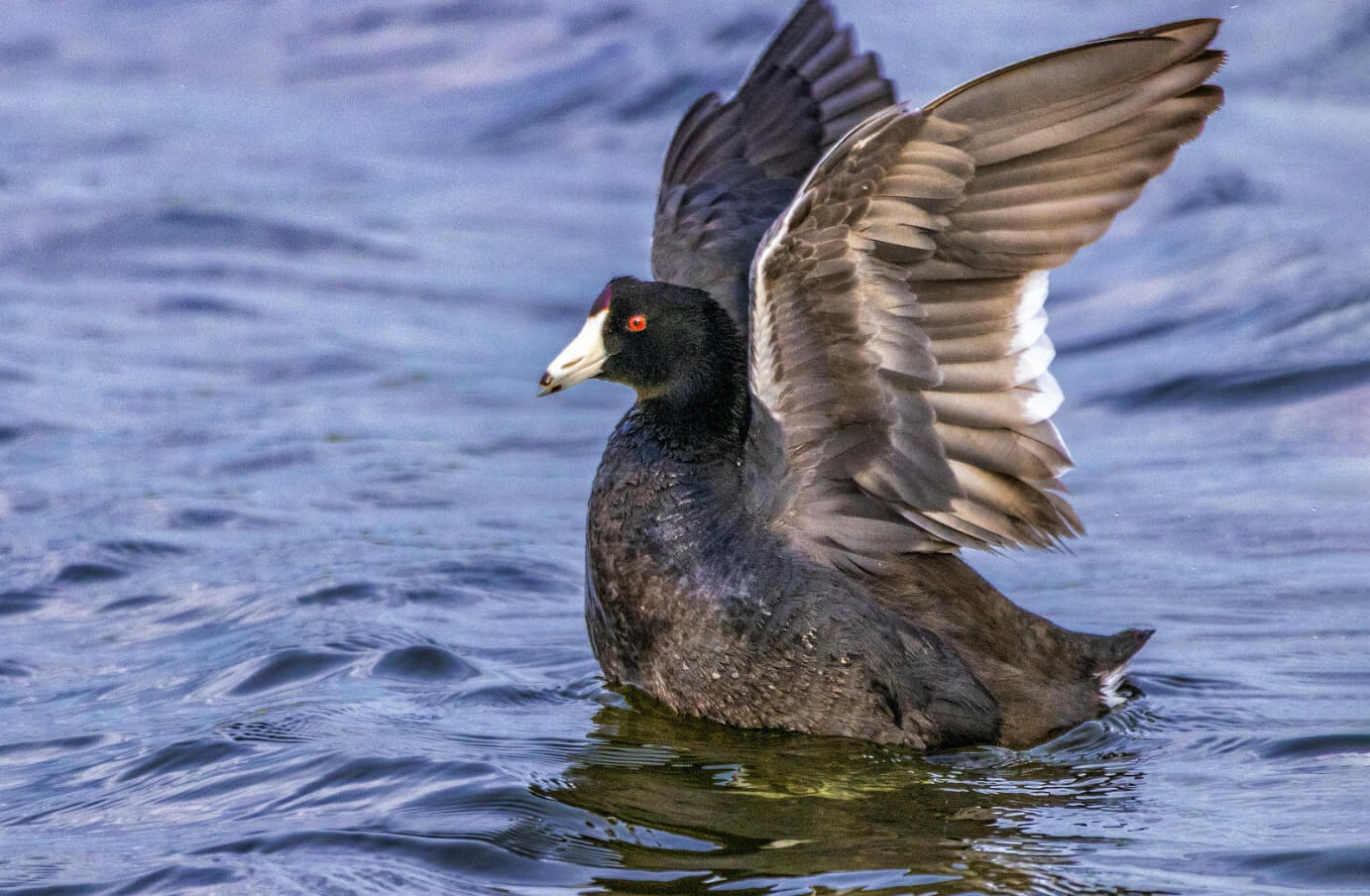 Picture of a single American Coot in a body of water with its wings extended, preparing to take flight
