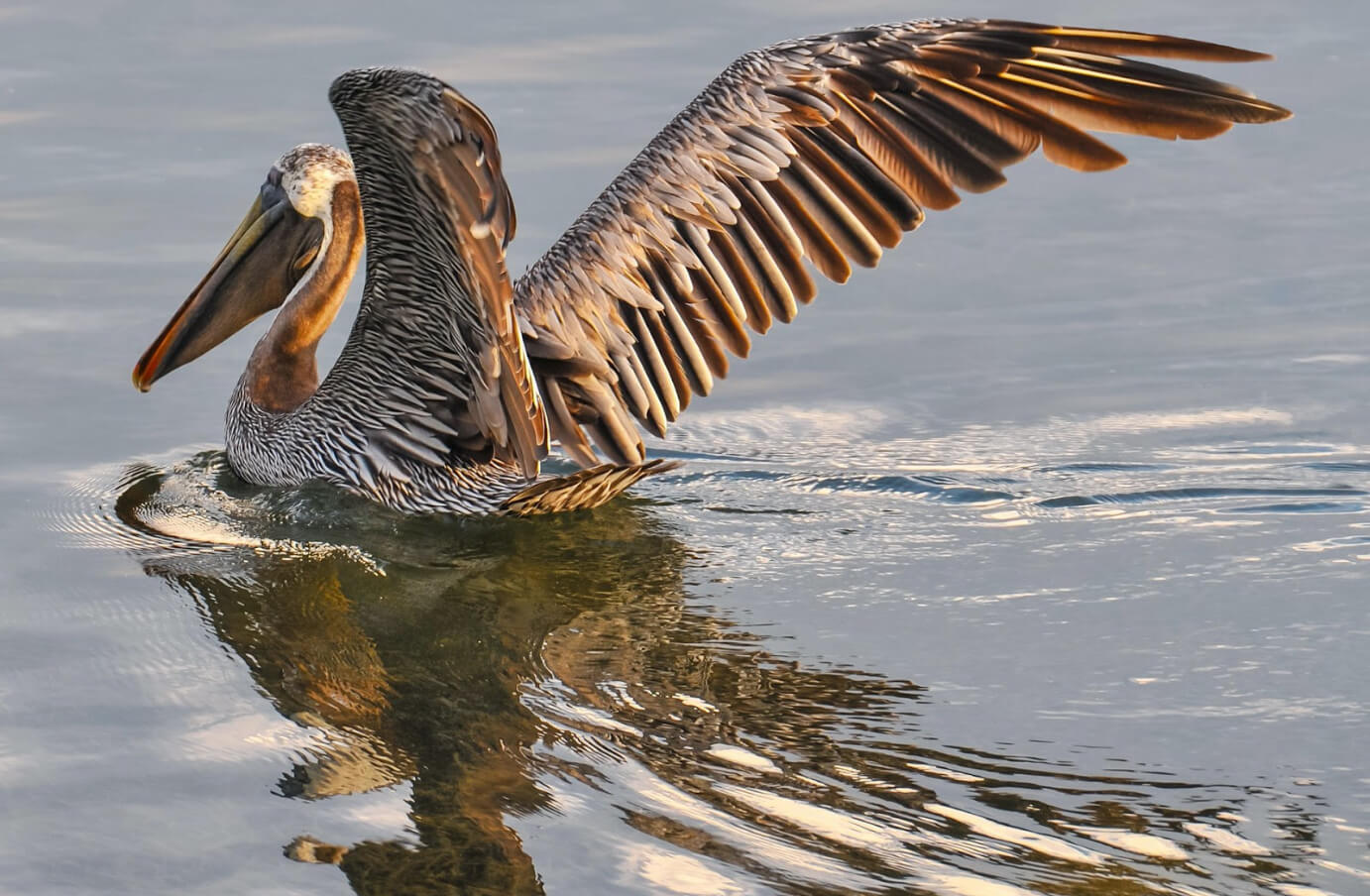 A Brown Pelican sitting in the water, with its wings extended preparing to takeoff for flight