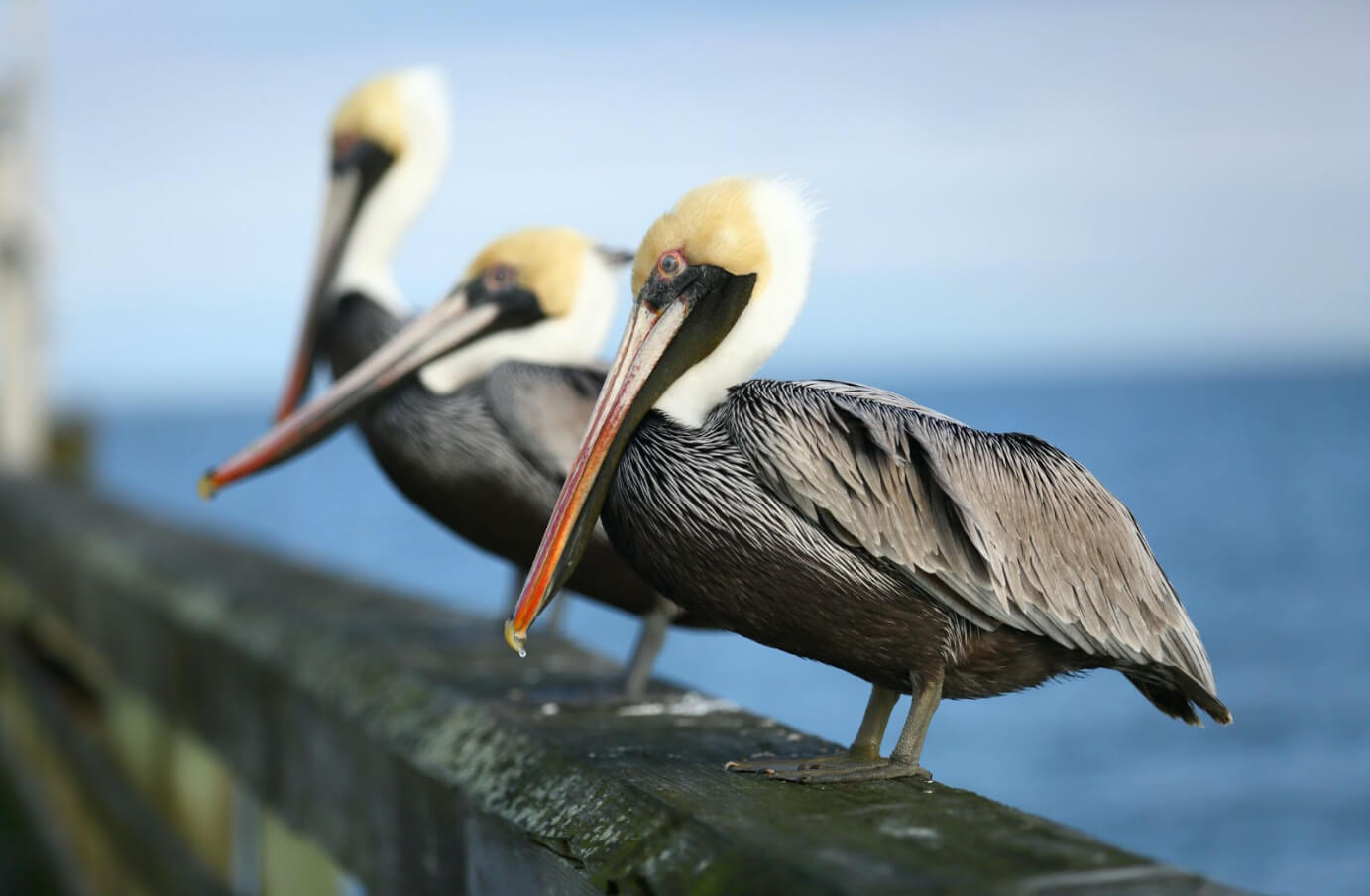 A row of three Brown Pelicans, perched atop a pier's railing