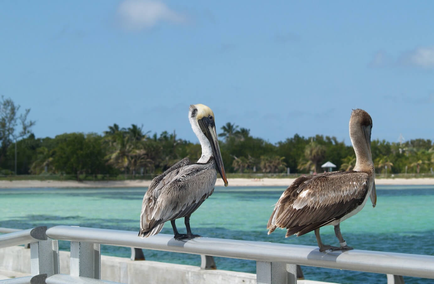 Two Brown Pelicans perched atop a pier's railing facing towards the ocean
