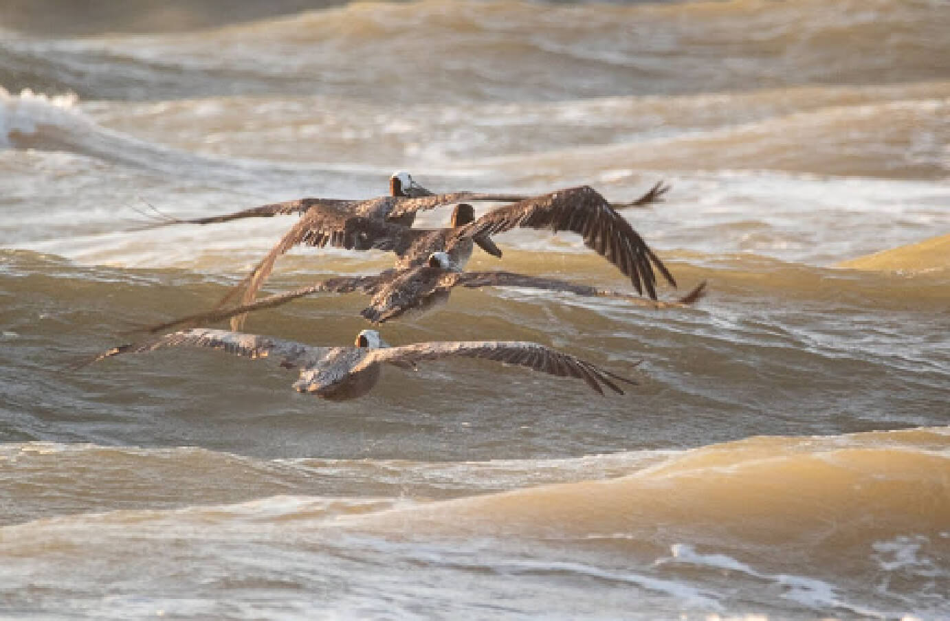 Four Brown Pelicans flying low & in formation over an ocean shoreline