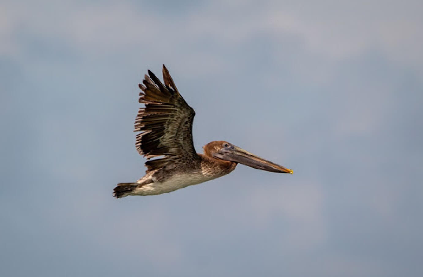 Side profile of a Brown Pelican flying in the sky