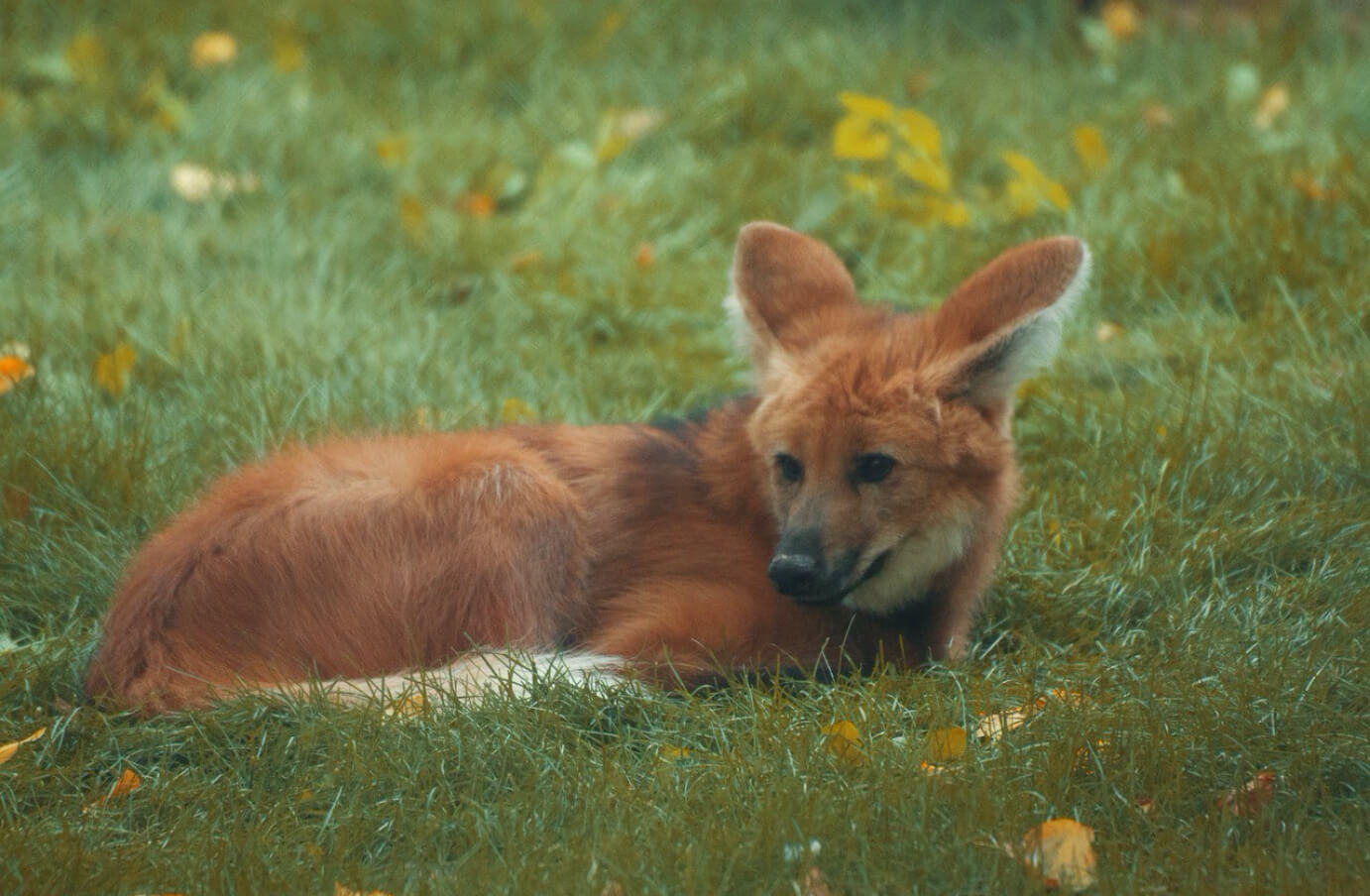 Falkland Island wolf laying in the grass