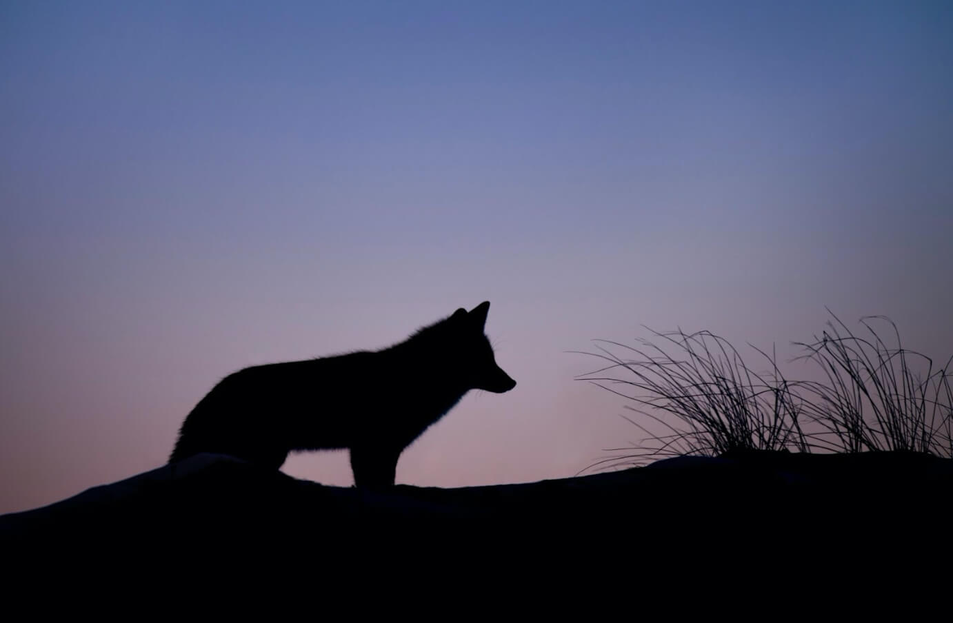 Photograph of a Falkland Island wolf's silhouette at sunset