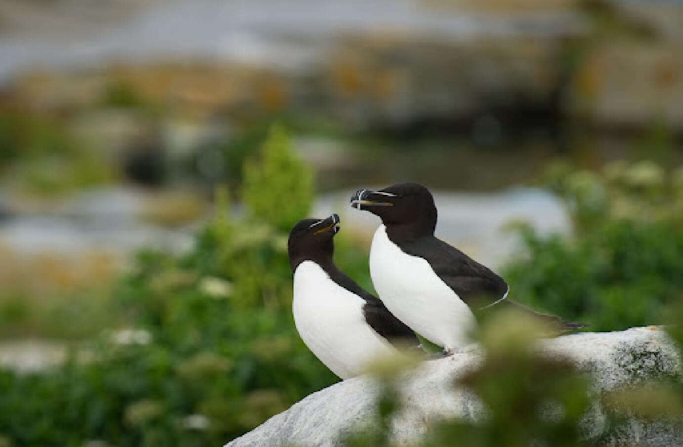 Photo of two Great Auk's in the wild, perched on a rock