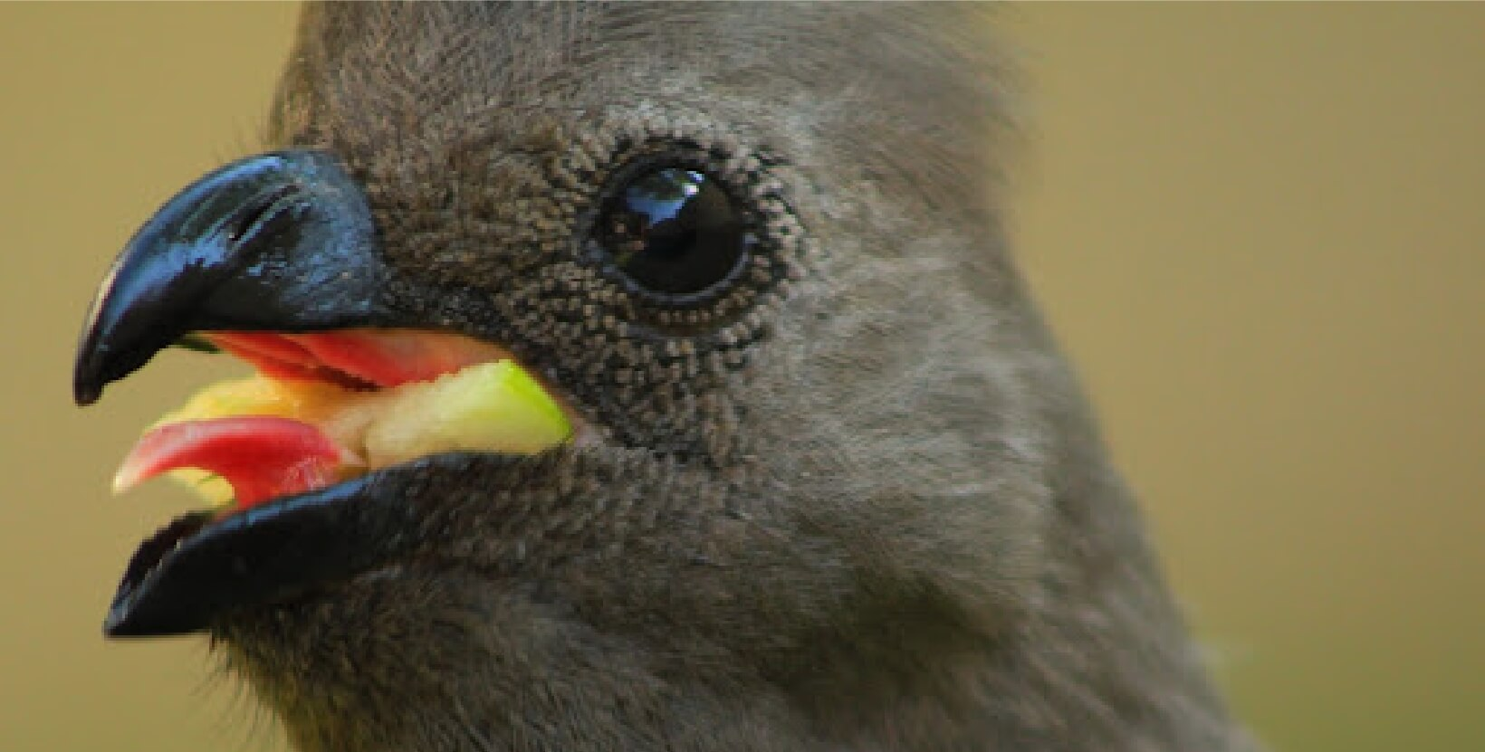 Close up shot of a go-away bird's face, while squawking