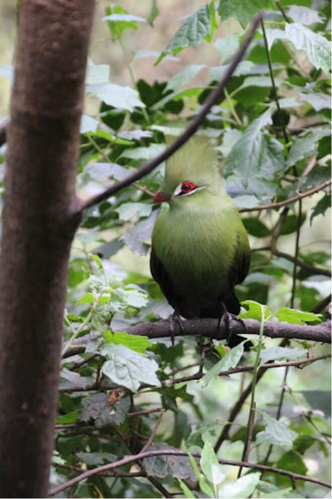 Photograph of a go-away bird from afar, perched in a dense tree