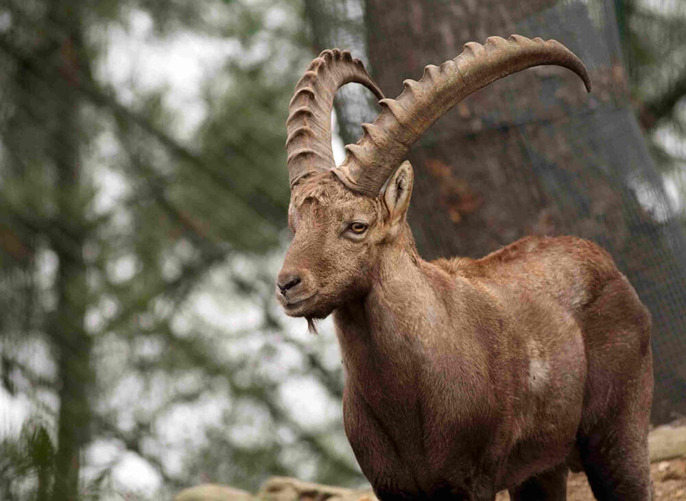 Photgraph of a Pyrenean Ibex looking towards the camera, in a mountainside forest