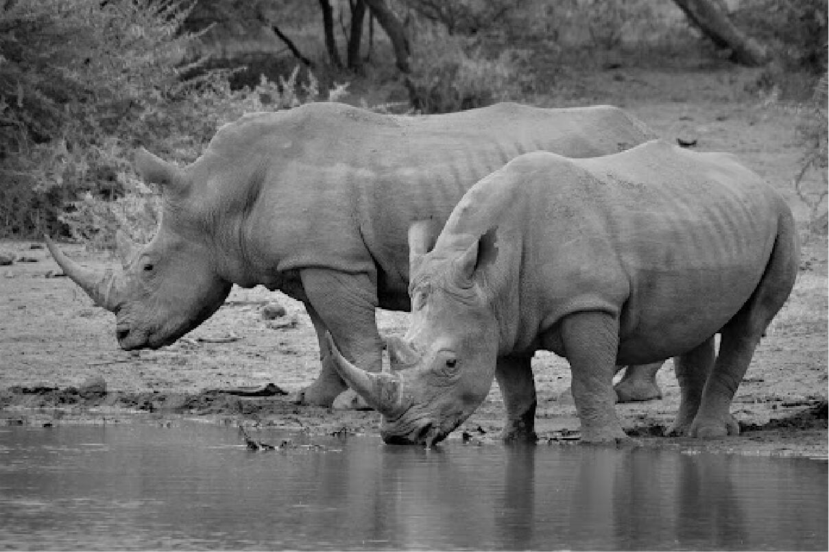 Photograph of two Black Rhinoceros drinking from a water source in the wild