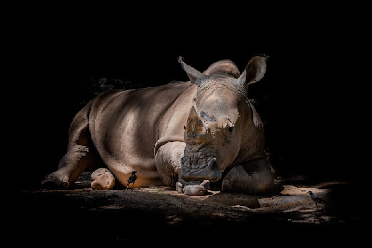 Photo of a Black Rhinoceros laying on the ground in a shaded area