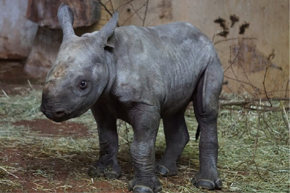 A baby Black Rhinoceros standing and looking towards the camera