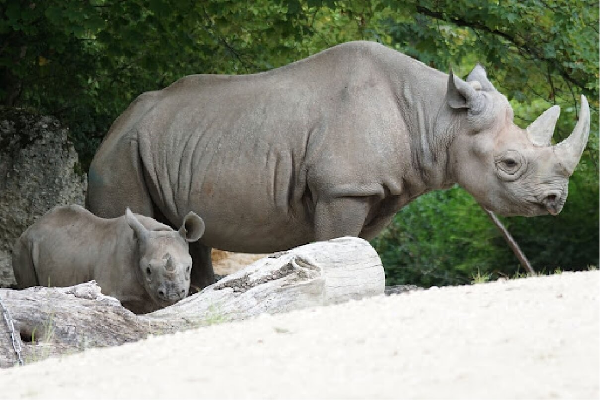 Photograph of an adult and a baby Black Rhinoceros standing next to each other